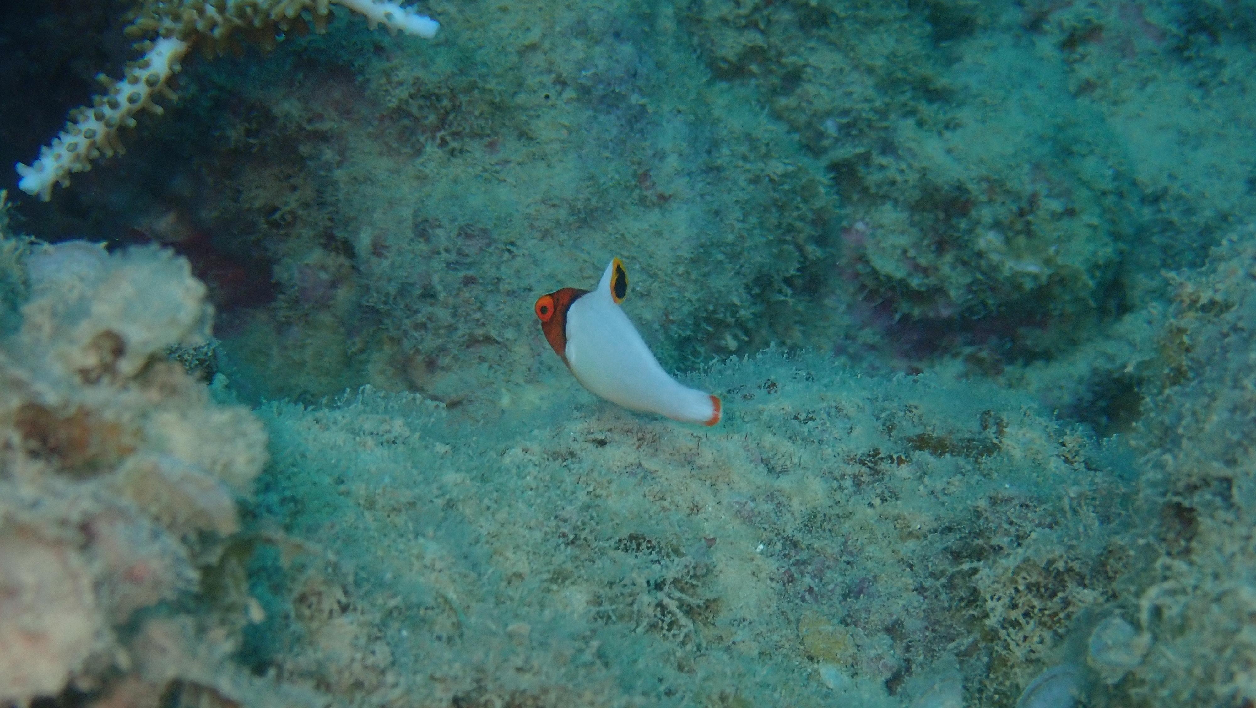 色ブダイの幼魚